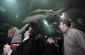Visitors in the observation tunnel at Deep Sea World aquarium watch as a Sand Tiger shark (Carcharias taurus) swims overhead in the aquarium at North Queensferry, Fife, Scotland. Picture Credit : Gary... Public aquarium,attraction,visitor,swimming,diver
