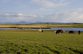 Evening view near The Loons - an RSPB nature reserve in Orkney. Picture Credit: Andy Bennetts / Scottish Viewpoint Tel: +44 (0) 131 622 7174   Fax: +44 (0) 131 622 7175 E-Mail : info@scottishviewpoint... Public UK,Tranquil Scene,Horizontal,Outdoors,Country,Scotland,Traditional Culture,Water,Sky,Cloud,Field,Horizon,Day,Hope,Orkney Islands,Colour,Grass,Spectrum,Cattle,Loch,Rushes,Nature,RSPB,No People,Photogra