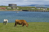 Lyness HOY ORKNEY Beef cattle grazing in field above Ore bay Heritage centre Oil tank Picture Credit: Doug Houghton / Scottish Viewpoint Tel: +44 (0) 131 622 7174   Fax: +44 (0) 131 622 7175 E-Mail :... Public orkney,hoy,lyness,beef,cattle,grazing,field,cows,scotland,scottish,bovine,herd,animals,farming,agricultural,agriculture,livestock,countryside,mammal,outside,outdoors,mammals,live,stock,agronomy,life,c