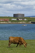 Lyness HOY ORKNEY Beef cattle grazing in field above Ore bay Heritage centre Oil tank Picture Credit: Doug Houghton / Scottish Viewpoint Tel: +44 (0) 131 622 7174   Fax: +44 (0) 131 622 7175 E-Mail :... Public orkney,hoy,lyness,scapa,flow,visitors,centre,naval,scotland,scottish,bovine,herd,cows,animals,farming,agricultural,agriculture,livestock,countryside,mammal,outside,outdoors,mammals,live,stock,agronomy