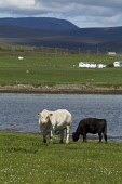 Lyness HOY ORKNEY Beef cattle grazing in field above Ore bay white bull staring cow eating Picture Credit: Doug Houghton / Scottish Viewpoint Tel: +44 (0) 131 622 7174   Fax: +44 (0) 131 622 7175 E-Ma... Public orkney,beef,cattle,bull,cow,field,grazing,remote,scotland,scottish,bovine,herd,cows,animals,farming,agricultural,agriculture,livestock,countryside,mammal,outside,outdoors,mammals,live,stock,agronomy,l