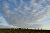 RING OF BRODGAR ORKNEY Fluffy clouds over Neolithic standing stone henge circle Picture Credit: Doug Houghton / Scottish Viewpoint Tel: +44 (0) 131 622 7174   Fax: +44 (0) 131 622 7175 E-Mail : info@s... Public orkney,ring,of,brodgar,brogar,standing,stones,scotland,scottish,stone,megaliths,menhirs,monolithic,henge,bronze,age,ancient,old,traditional,customs,cultural,unesco,world,heritage,site,archaeology,arch