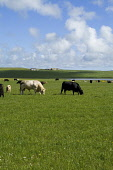 Loch of Stenness STROMNESS AREA ORKNEY Large white bull with herd of beef cattle Picture Credit: Doug Houghton / Scottish Viewpoint Tel: +44 (0) 131 622 7174   Fax: +44 (0) 131 622 7175 E-Mail : info@... Public orkney,stromness,area,loch,of,stenness,scotland,scottish,bovine,herd,cows,animals,farming,rural,agricultural,agriculture,livestock,countryside,mammal,land,outside,outdoors,mammals,live,stock,agronomy,