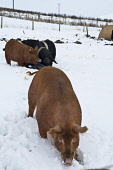 Pigs feeding in the snow Orkney pig farm  PIG ANIMAL Picture Credit: Doug Houghton / Scottish Viewpoint Tel: +44 (0) 131 622 7174   Fax: +44 (0) 131 622 7175 E-Mail : info@scottishviewpoint.com This p... Public farming,pigs,feeding,snow,scotland,pig,farm,in,the,orkney,animal,winter,agriculture,rural,graze,eat,feed,grazes,eats,feeds,grazing,eating,grass,breed,bred,rear,animals,breeds,breds,rears,domesticated,