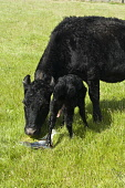 Newly born calf mother cow eating placenta  COW ANIMAL Picture Credit: Doug Houghton / Scottish Viewpoint Tel: +44 (0) 131 622 7174   Fax: +44 (0) 131 622 7175 E-Mail : info@scottishviewpoint.com This... Public newborn,calf,born,uk,cow,eating,place,placenta,newly,mother,animal,baby,1,offspring,babies,cattle,animals,live,stock,farm,bovine,domestic,bovinae,bovidae,herbivore,calves,agricultural,fields,agricultu