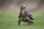 Buzzard (Buteo buteo) worming in field. Picture Credit : Peter Cairns / Scottish Viewpoint Tel: +44 (0) 131 622 7174   Fax: +44 (0) 131 622 7175 E-Mail : info@scottishviewpoint.com This photograph can... Public England,Peter Cairns.,September,Somerset,adult,avian,bird,bird of prey,buteo buteo,buzzard,captive,common,controlled,hunter,native,opportunist,raptor,scavenger,wildlife