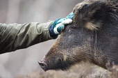 Wild boar (Sus scrofa), part of woodland regeneration project, Alladale Reserve, Scotland. Picture Credit : Peter Cairns / Scottish Viewpoint Tel: +44 (0) 131 622 7174   Fax: +44 (0) 131 622 7175 E-Ma... Public Alladale Wilderness Reserve,February.,Highlands,Peter Cairns,Scotland,Sutherland,controlled,ecology,heather,mammal,managed,native,pigs,rooter,sus scrofa,wild boar,wildlife,woodland restoration