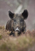 Wild boar (Sus scrofa), part of woodland regeneration project, Alladale Reserve, Scotland Picture Credit : Peter Cairns / Scottish Viewpoint Tel: +44 (0) 131 622 7174   Fax: +44 (0) 131 622 7175 E-Mai... Public Alladale Wilderness Reserve,February.,Highlands,Peter Cairns,Scotland,Sutherland,controlled,ecology,heather,mammal,managed,native,pigs,rooter,sus scrofa,wild boar,wildlife,woodland restoration