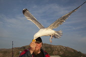 Herring gull (Larus argentatus) taking bread from fisherman's hand. Picture Credit : Peter Cairns / Scottish Viewpoint Tel: +44 (0) 131 622 7174   Fax: +44 (0) 131 622 7175 E-Mail : info@scottishviewp... Public herring gull,larus argentatus,bird,avian,wildlife,scavenger,sea,coast,marine,water,fish,flight,flying,backlit,light,summer,ecotourism.