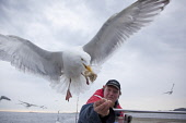 Herring gull (Larus argentatus) being fed by fisherman.Picture Credit : Peter Cairns / Scottish ViewpointTel: +44 (0) 131 622 7174  Fax: +44 (0) 131 622 7175E-Mail : info@scottishviewpoint.comThis pho... Public herring gull,larus argentatus,bird,avian,wildlife,scavenger,sea,coast,marine,water,fish,flight,flying,fisherman,food,bread,by hand,habituated,opportunist,summer