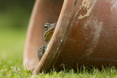 Toad (Bufo bufo) in flowerpot in garden, Scotland.  Picture Credit : Peter Cairns  / Scottish Viewpoint Tel: +44 (0) 131 622 7174   Fax: +44 (0) 131 622 7175 E-Mail : info@scottishviewpoint.com This p... Public Cairngorms National Park,Peter Cairns,Scotland,adult,amphibian,bufo bufo,encounter,experience,garden,nature,summer.,toad,wildlife,flower pot,humourous.
