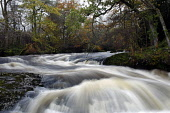 The famous Buchanty Spout in the course of the River Almond, near Crieff renowned as a good place to watch the spectacle of wild Atlantic Salmon leaping waterfalls during their annual journey upstream... Public, NMR 2011,autumn,nature,fauna,flow,gushing,leap,torrent,water,waterfall