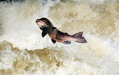 Salmon leaping at the famous Buchanty Spout in the course of the River Almond, near Crieff, Perthshire. Picture Credit : Garry McHarg / Scottish Viewpoint Tel: +44 (0) 131 622 7174   E-Mail : info@sco... Public, NMR 2011,autumn,nature,fauna,flow,gushing,leap,torrent,water,waterfall,waterfalls,spawning