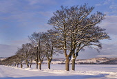 A line of trees on a winter afternoon near Abernethy, Perthshire. Picture Credit : Susan Pettigrew / Scottish Viewpoint Tel: +44 (0) 131 622 7174   E-Mail : info@scottishviewpoint.com This photograph... Public 2010,sunny,atmospheric,snow,snowy,cold,field,countryside,branches