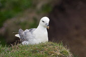 Fulmar nesting on the cliffs at Duncansby Head, Caithness, Highland. Picture Credit : Ross Graham / Scottish Viewpoint Tel: +44 (0) 131 622 7174   E-Mail : info@scottishviewpoint.com This photograph c... Public 2011,summer,fauna,bird,seabird