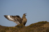 A Great Skua, Hoy, Orkney. Picture Credit : Mark Ferguson / Scottish Viewpoint   Tel: +44 (0) 131 622 7174  E-Mail : info@scottishviewpoint.com  This photograph cannot be used without prior permission... Public 2012,summer,isle,isles,island,bird,nature,sea,seabird,wildlife,wings,fauna,bonxie,Catharacta,display,heather,aggressive,calling,beak,brown,scavenger