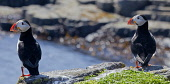 Two Puffins on the Isle of May, Firth of Forth. Picture Credit : Ian Macrae Young / Scottish Viewpoint   Tel: +44 (0) 131 622 7174  E-Mail : info@scottishviewpoint.com  This photograph cannot be used... Public 2012,summer,sunny,bird,birds,birdwatching,twitching,nature,wildlife,fauna,sea,seabird