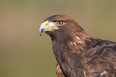 Golden eagle (Aquila chrysaetos) portrait, Cairngorms National Park, Highlands of Scotland.Picture Credit : Peter Cairns / Scottish Viewpoint  Tel: +44 (0) 131 622 7174 E-Mail : info@scottishviewpoint... Public 2012,winter,CNP,avian,bird,captive,controlled,hunter,portrait,predator,raptor,wildlife,fauna,highland,sunny