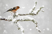 Chaffinch (Fringilla coelebs) in winter, Cairngorms National Park, Highlands of Scotland. Picture Credit : Peter Cairns / Scottish Viewpoint   Tel: +44 (0) 131 622 7174  E-Mail : info@scottishviewpoin... Public 2012,bird,wildlife,passerine,avian,branch,perched,lichen,snow,CNP,fauna,highland
