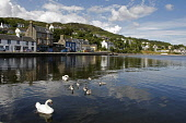 Tarbert on East Loch Tarbert, Argyll. Picture Credit : Garry McHarg / Scottish Viewpoint   Tel: +44 (0) 131 622 7174  E-Mail : info@scottishviewpoint.com  This photograph cannot be used without prior... Public 2012,summer,sunny,harbour,swan,swans,cygnets,bird,birds
