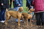 Hungarian Vizslas and their owners at the largest ever gathering of the breed's owners at Carmichael Visitor Centre, South Lanarkshire. Picture Credit : Andrew Wilson / Scottish Viewpoint   Tel: +44 (... Public 2012,spring,event,dog,pet,canine,meeting,owner,breed,pedigree