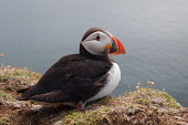 A Puffin (Fratercula arctica) on the Island of Sanday, Small Isles, Inner Hebrides. Picture Credit : Graham Uney / Scottish Viewpoint   Tel: +44 (0) 131 622 7174  E-Mail : info@scottishviewpoint.com... Public 2012,summer,bird,nature,wildlife,fauna,isle,seabird,Rhum,highland,cliff,edge,coast,coastal,water