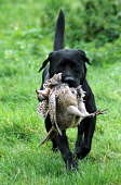 A Gun dog with a pheasant in a field. Picture Credit: Scott Whitelaw / Scottish Viewpoint Tel: +44 (0) 131 622 7174   E-Mail : info@scottishviewpoint.com Web: www.scottishviewpoint.com This photograph... Public 2012,autumn,activity,shoot,shooting,labrador,black,working,dog,bird,quarry