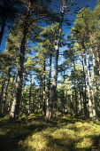Abernethy Forest near Loch Garten, Abernethy Nature Reserve, Cairngorm National Park, Highlands of Scotland. Picture Credit : Keith Fergus / Scottish Viewpoint   Tel: +44 (0) 131 622 7174  E-Mail : in... Public summer,sunny,walking,Cairngorms,woodland,wood,trees,Caledonian,Scots,Pine,Highland,Badenoch,Speyside
