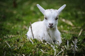 Pygmy Goat kid (approx 10 days old) on a small holding in South Lanarkshire. Picture Credit : Andrew Wilson / Scottish Viewpoint  Tel: +44 (0) 131 622 7174  E-Mail : info@scottishviewpoint.com  Web: w... Public 2013,spring,agriculture,livestock,animal,animals,farm,farms,farming,countryside,cute,baby,young