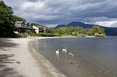 Swans and ducks at Luss Bay by the Lodge on Loch Lomond Hotel, Loch Lomond, Argyll. Picture Credit: Richard Burdon / Scottish Viewpoint Tel: +44 (0) 131 622 7174   E-Mail : info@scottishviewpoint.com... Public 2011,summer,sunny,hills,hill,mountain,accommodation,beach,birds,wildlife,cygnets,water