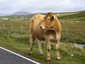 A cow at the side of the road near Scarista, Harris, Outer Hebrides. Picture Credit: Richard Burdon / Scottish Viewpoint Tel: +44 (0) 131 622 7174   E-Mail : info@scottishviewpoint.com This photograph... 2011,summer,western,isles,island,isle,livestock,farming,animal,mammal