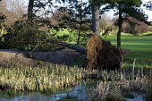 A pine tree is toppled by gale force winds at Mortonhall, Edinburgh. Picture Credit : Ian Macrae Young / Scottish Viewpoint Tel: +44 (0) 131 622 7174   E-Mail : info@scottishviewpoint.com This photogr... Public 2012,winter,sunny,woodland,weather,fallen