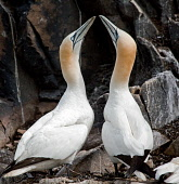 A pair of gannets displaying, the Bass Rock, East Lothian.Picture Credit : Ian Macrae Young / Scottish ViewpointTel: +44 (0) 131 622 7174  E-Mail : info@scottishviewpoint.comThis photograph cannot be... Public 2011,summer,bird,birds,wildlife,seabird