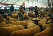 John Jeffery (centre) - ex Scotland international rugby player and farmer at the Kelso Ram Sales, Scottish Borders. Picture Credit : Angus Blackburn / Scottish Viewpoint Tel: +44 (0) 131 622 7174   E-... Public 2011,summer,event,farming,livestock,agriculture,animals,sheep,sale,auction