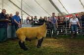 The Kelso Ram Sales, Scottish Borders. Picture Credit : Angus Blackburn / Scottish Viewpoint Tel: +44 (0) 131 622 7174   E-Mail : info@scottishviewpoint.com This photograph cannot be used without prio... Public 2011,summer,event,farming,livestock,agriculture,animals,sheep,sale,auction