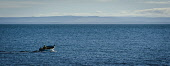 A lone lobster fisherman on his way to check his creels in the Cromarty Firth, Highlands of Scotland. Picture Credit : Andrew Wilson / Scottish Viewpoint Tel: +44 (0) 131 622 7174   E-Mail : info@scot... Public 2012,winter,sunny,fish,fishing,boat,panoramic,water