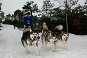 Aviemore dog sled race held over the course of a weekend, Cairngorm National Park, Highlands of Scotland. Picture Credit : Kenny Ferguson / Scottish Viewpoint Tel: +44 (0) 131 622 7174   E-Mail : info... Public, NMR 2010,winter,snow,cold,sledge,sleigh,race,event,endurance,competitor,competition,husky,dogs,huskies,cnp,cairngorms,people,dogsled,sledog