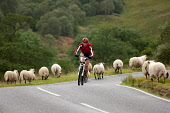 A cyclist on the bike section of the Big Triathlon, Fort William, Highlands of Scotland. Picture Credit : Kenny Ferguson / Scottish Viewpoint Tel: +44 (0) 131 622 7174   E-Mail : info@scottishviewpoin... Public, NMR 2008,Lochaber,athlete,athelete,cycling,bicycle,compete,competition,endurance,event,extreme,sport,activity,sheep