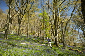 Walking in Castramont Wood in the Fleet Estuary National Scenic Area, Dumfries and Galloway. Picture Credit : Allan Devlin / Scottish Viewpoint  Tel: +44 (0) 131 622 7174  E-Mail : info@scottishviewpo... Public 2012,spring,sunny,tree,fresh,colour,green,leaves,woodland,flowers,wild,flora,bluebells,people,walker,walk,path