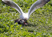 A Black Headed Gull stealing Sand Eels from a puffin. Picture Credit : Mike Clarke / Scottish Viewpoint  Tel: +44 (0) 131 622 7174  E-Mail : info@scottishviewpoint.com  Web: www.scottishviewpoint.com... Public 2012,summer,sunny,bird,birdwatching,twitching,wildlife,fauna,wings,sea,seabird