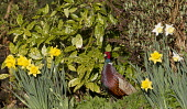 A wild pheasant. Picture Credit : Mike Clarke / Scottish Viewpoint  Tel: +44 (0) 131 622 7174  E-Mail : info@scottishviewpoint.com  Web: www.scottishviewpoint.com This photograph cannot be used withou... Public 2012,spring,sunny,bird,birdwatching,twitching,wildlife,fauna,male,cock,garden,flowers,daffodils