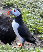 A puffin with sand eels. Picture Credit : Mike Clarke / Scottish Viewpoint  Tel: +44 (0) 131 622 7174  E-Mail : info@scottishviewpoint.com  Web: www.scottishviewpoint.com This photograph cannot be use... Public 2012,summer,sunny,bird,birdwatching,twitching,wildlife,fauna,sea,seabird,burrow