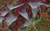 Spider's webs on cotoneaster berries. Picture Credit : Mike Clarke / Scottish Viewpoint   Tel: +44 (0) 131 622 7174  E-Mail : info@scottishviewpoint.com  This photograph cannot be used without prior p... 2010,autumn,berry,plant,shrub,nature,web,spider