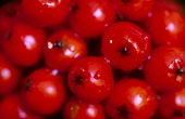 A DETAIL OF GLISTENING ROWAN BERRIES (SORBUS AUCUPARIA). PIC: PETER CAIRNS/SCOTTISH VIEWPOINT Tel: +44 (0) 131 622 7174   Fax: +44 (0) 131 622 7175 E-Mail : info@scottishviewpoint.com This photograph... PUBLIC, NMR FLORA,RED,AUTUMN,BERRY,RAINDROPS