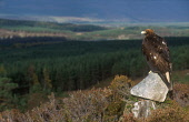 LOOKING OVER TO A GOLDEN EAGLE (AQUILA CHRYSAETOS) PERCHED ON ROCKS ABOVE GLENFESHIE, THE BADENOCH AND STRATHSPEY DISTRICT, HIGHLAND. PIC: PETER CAIRNS/SCOTTISH VIEWPOINT Tel: +44 (0) 131 622 7174   F... PUBLIC, NMR AUTUMN,FORESTRY,WOOD,TREES,BIRD OF PREY,FAUNA