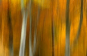 AN ARTISTIC IMPRESSION OF AUTUMNAL BEECH WOODLAND, THE BADENOCH AND STRATHSPEY DISTRICT, HIGHLAND. PIC: PETER CAIRNS/SCOTTISH VIEWPOINT Tel: +44 (0) 131 622 7174   Fax: +44 (0) 131 622 7175 E-Mail : i... PUBLIC, NMR FORESTRY,AUTUMN,WOOD,TREE TRUNK,PATTERN,TEXTURE
