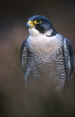 LOOKING OVER TO A PEREGRINE FALCON (FALCO PEREGRINUS) PERCHED IN HEATHER, THE BADENOCH AND STRATHSPEY DISTRICT, HIGHLAND. PIC: PETER CAIRNS/SCOTTISH VIEWPOINT Tel: +44 (0) 131 622 7174   Fax: +44 (0)... PUBLIC, NMR FAUNA,BIRD OF PREY,AUTUMN,MOORLAND