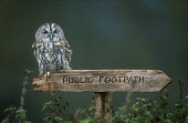 LOOKING OVER TO A TAWNY OWL (STRIX ALUCO) PERCHED ON A PUBLIC FOOTPATH SIGN, THE BADENOCH AND STRATHSPEY DISTRICT, HIGHLAND. PIC: PETER CAIRNS/SCOTTISH VIEWPOINT Tel: +44 (0) 131 622 7174   Fax: +44 (... PUBLIC, NMR SUMMER,MOSS,LICHEN,BIRD,FAUNA