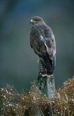 LOOKING OVER TO A BUZZARD (BUTEO BUTOE) PERCHED ON A POST, THE BADENOCH AND STRATHSPEY DISTRICT, HIGHLAND. PIC: PETER CAIRNS/SCOTTISH VIEWPOINT Tel: +44 (0) 131 622 7174   Fax: +44 (0) 131 622 7175 E-... PUBLIC, NMR FAUNA,BIRD OF PREY,AUTUMN