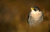 LOOKING OVER TO A PEREGRINE FALCON (FALCO PEREGRINUS) PERCHED IN HEATHER, THE BADENOCH AND STRATHSPEY DISTRICT, HIGHLAND. PIC: PETER CAIRNS/SCOTTISH VIEWPOINT Tel: +44 (0) 131 622 7174   Fax: +44 (0)... PUBLIC, NMR FAUNA,BIRD OF PREY,AUTUMN,MOORLAND,SUNNY